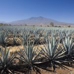 Agave plantation. Tequila. Jalisco. Mexico.