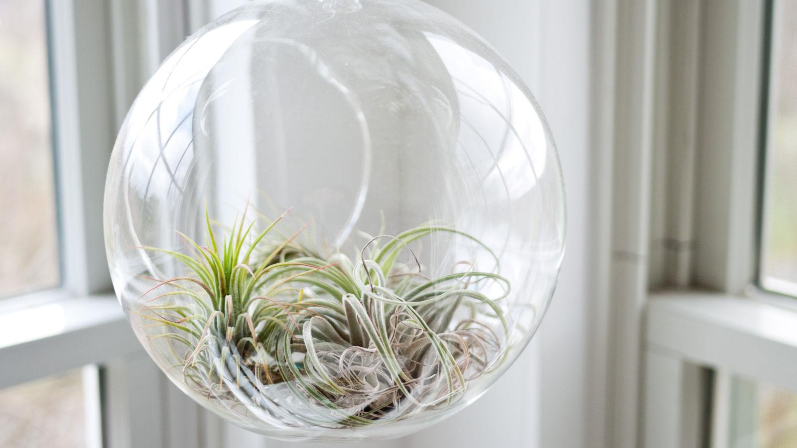 Tillandsien: So pflegeleicht sind die Luftpflanzen  evidero
